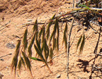 Cheatgrass Thumb