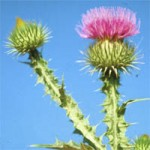 Scotts Thistle thumb 150x150